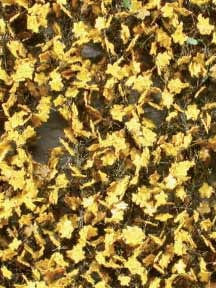 Ahornlaub (Spätherbst, gelb)