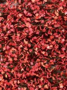 Ahornlaub (Herbst, rot)